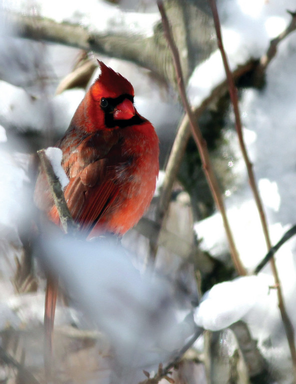 RED AND WHITE: Local photographer Dave Chartier said he's been waiting quite some time to snap a shot of a cardinal in the snow. He got his wish this weekend.
