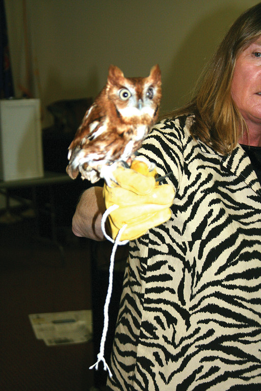 DOING THE NICHE SWITCH: The Screech Owl is the counterpart to the American Kestrel. This one is blind in one eye because it was hit by a car.