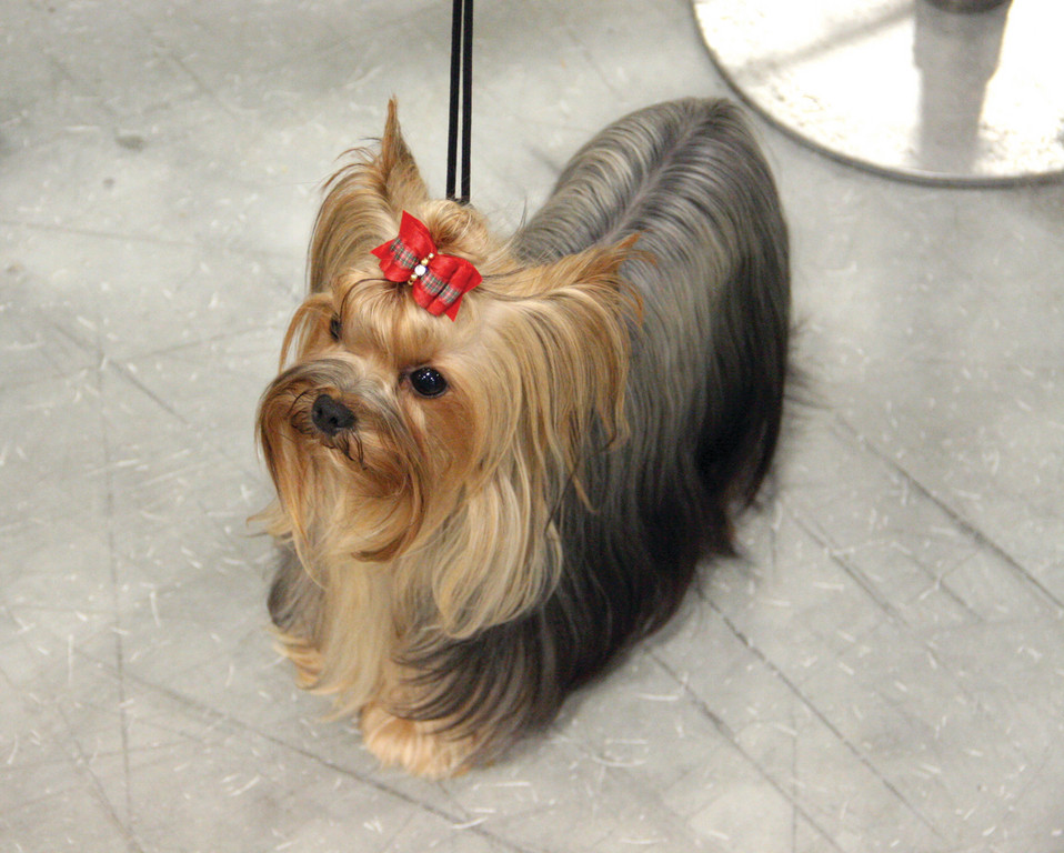 READY FOR THE RING: With a bit of last minute grooming, Jetaime, a Yorkshire Terrier owned by Judith Bolduc, awaits for a walk around the ring.