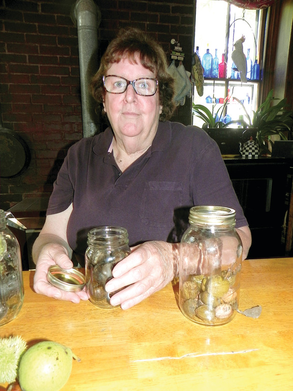 CHESTNUTS: Anne Holst displays chestnuts from the trees her father planted. The strain of tree was resistant to the blight that virtually eradicated the American Chestnut.