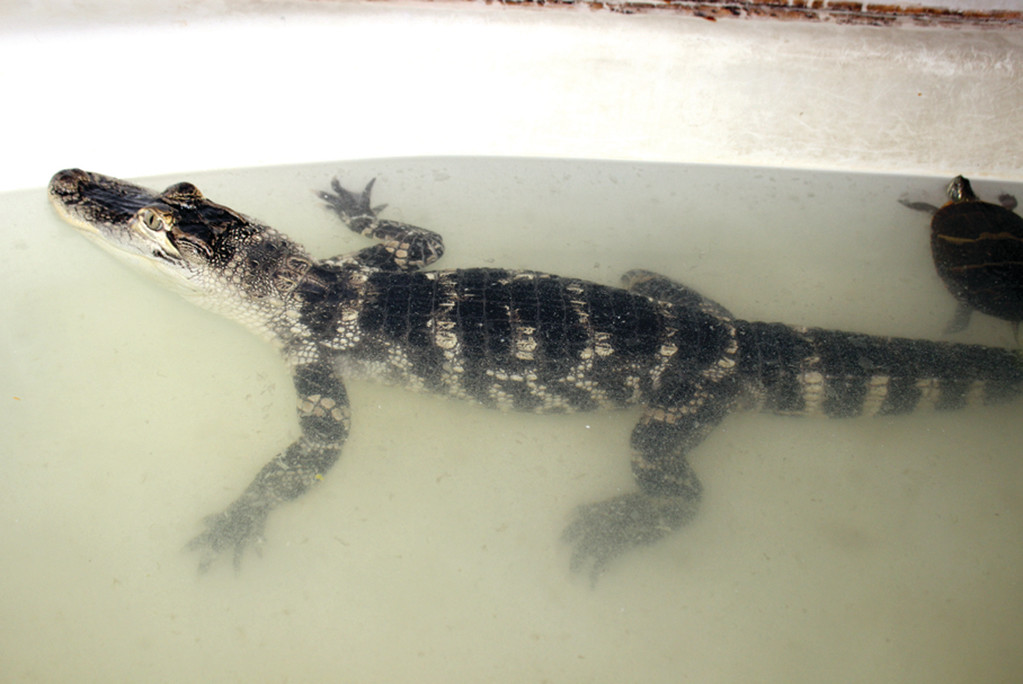 UNFIT HOME: A three-and-a-half-foot-long American alligator, along with snakes and other exotic reptiles, were confiscated from an apartment last week after police responded to a domestic assault case. The alligator was kept in a bathtub with a turtle.