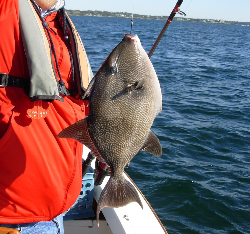 Triggerfish like structure: This gray trigger fish was caught off Newport on Seal Ledge two weeks ago when fishing with green crabs for tautog.