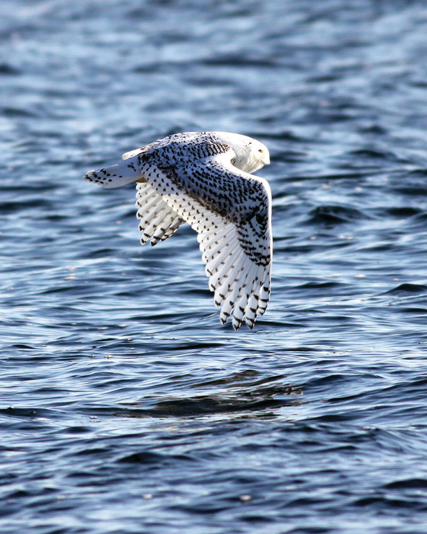 WARWICK VISITOR: The Snowy Owl photogrpahed at Conimicut point by David Chartier.