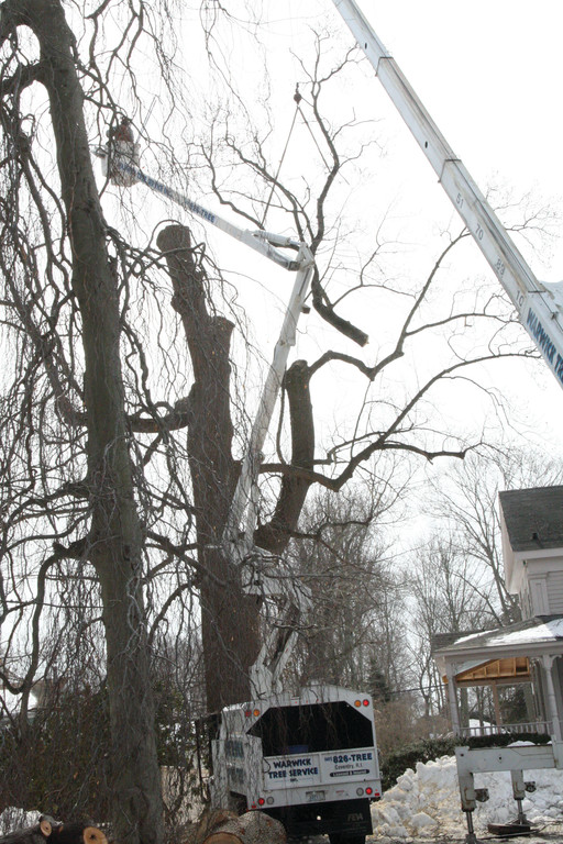 DISMEMBERED: The Payton Avenue tree is cut down.