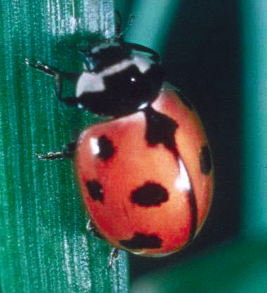 REAL LADY: The Nine Spotted Ladybug.