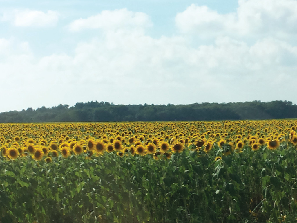 BEAUTIFUL WELCOME: Just outside of our campground in Wisconsin was a beautiful field of sunflowers. After driving all day, this was a welcome site.