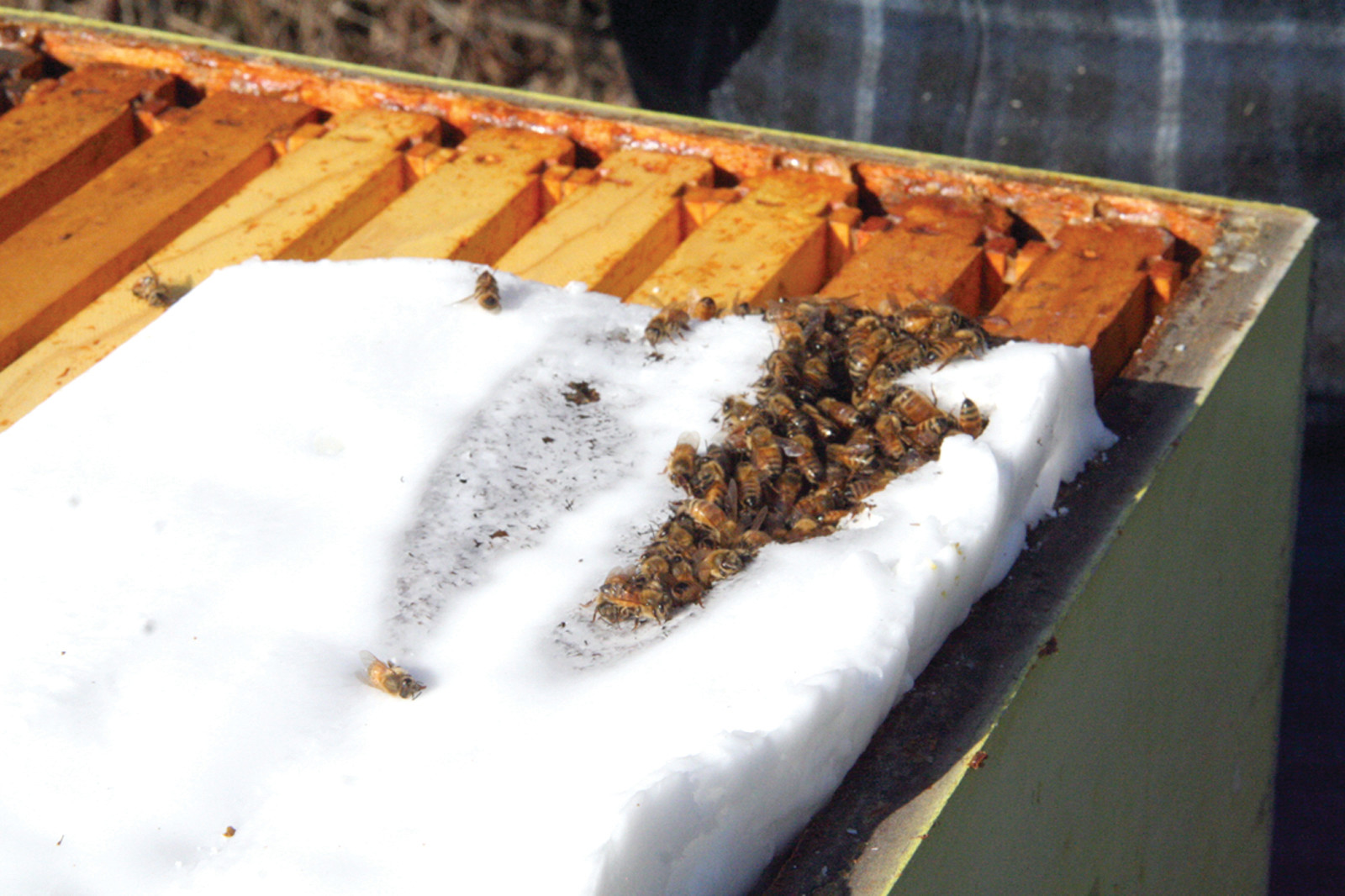 Bees eating the sugar left for them.