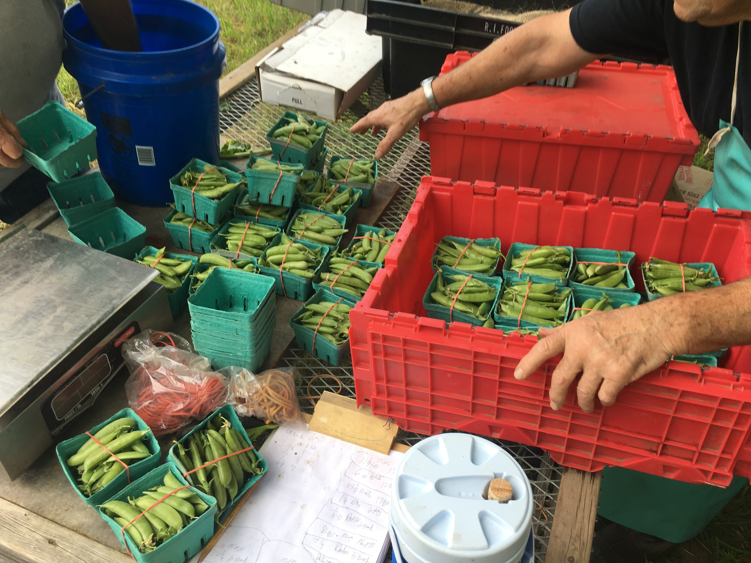 Westbay Farm produced 24,000 pounds of produce last year in its best harvest ever. Here, volunteers count and sort snap peas.
