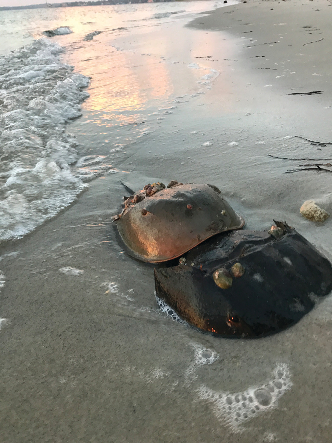 THOUSANDS OF EGGS: A pair of mating horseshoe crabs on the beach at high tide.