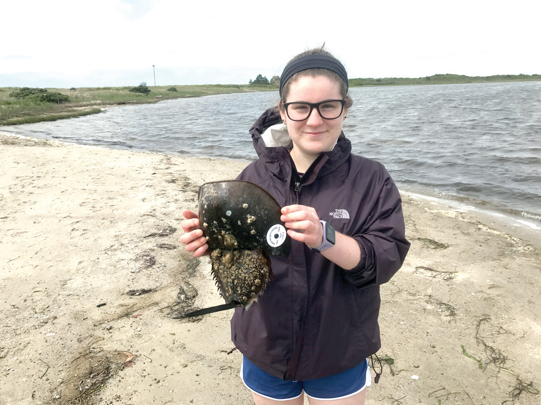 TAGGED FOR RELEASE: Pilgrim senior Isabella Zuffoletti with one of the horseshoe crabs she tagged as part of her senior project.