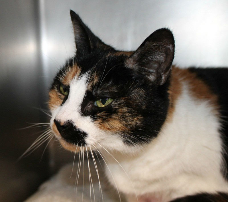 Senior alert! This gorgeous Calico girl named Cupcake finds herself in the shelter at 16 years old! This is no place for her to be at her age, she needs out of the shelter and into a loving home as soon as possible. She is a purring machine, she absolutely loves attention! Her striking green eyes and sweet personality will melt your heart. She is best suited to be an only kitty after all she deserves all of your attention. Please call the shelter at 401-464-8700 or visit Cupcake during their hours of operation: Tues., Thurs., Friday 11:30-3:30 and Saturday 11:00-3:00 they are located at 920 Phenix Avenue Cranston, RI 02921.