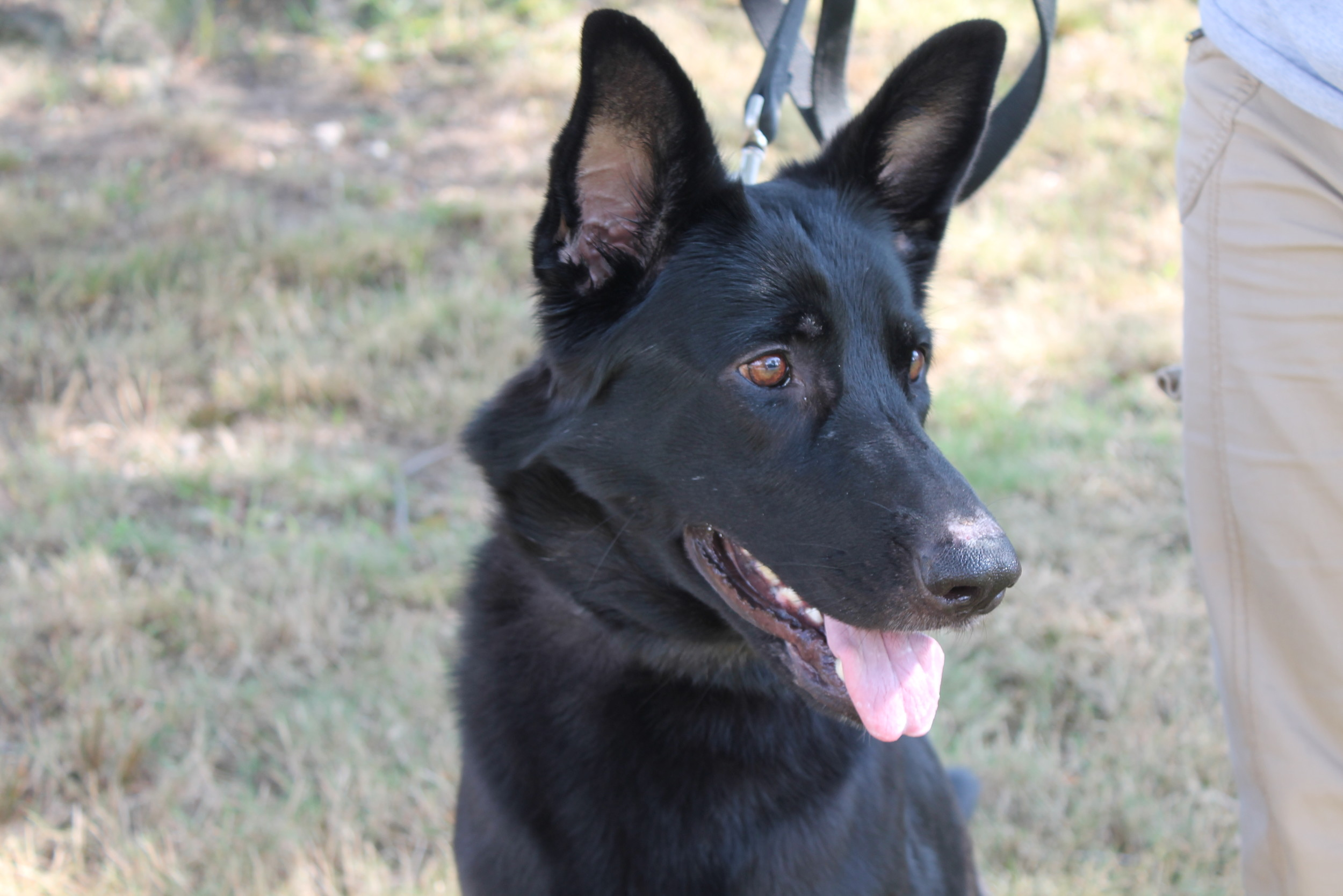 "Coco, the purebred German Shepherd, is available now at the Warwick Animal Shelter. Come down and say ""hallo"" today!"