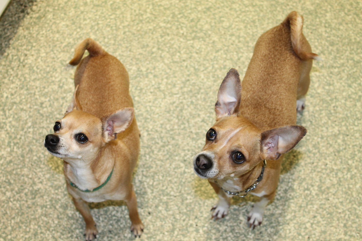 Max and Tippy are the best of bros, and they would bring a brotherly love to your home too!