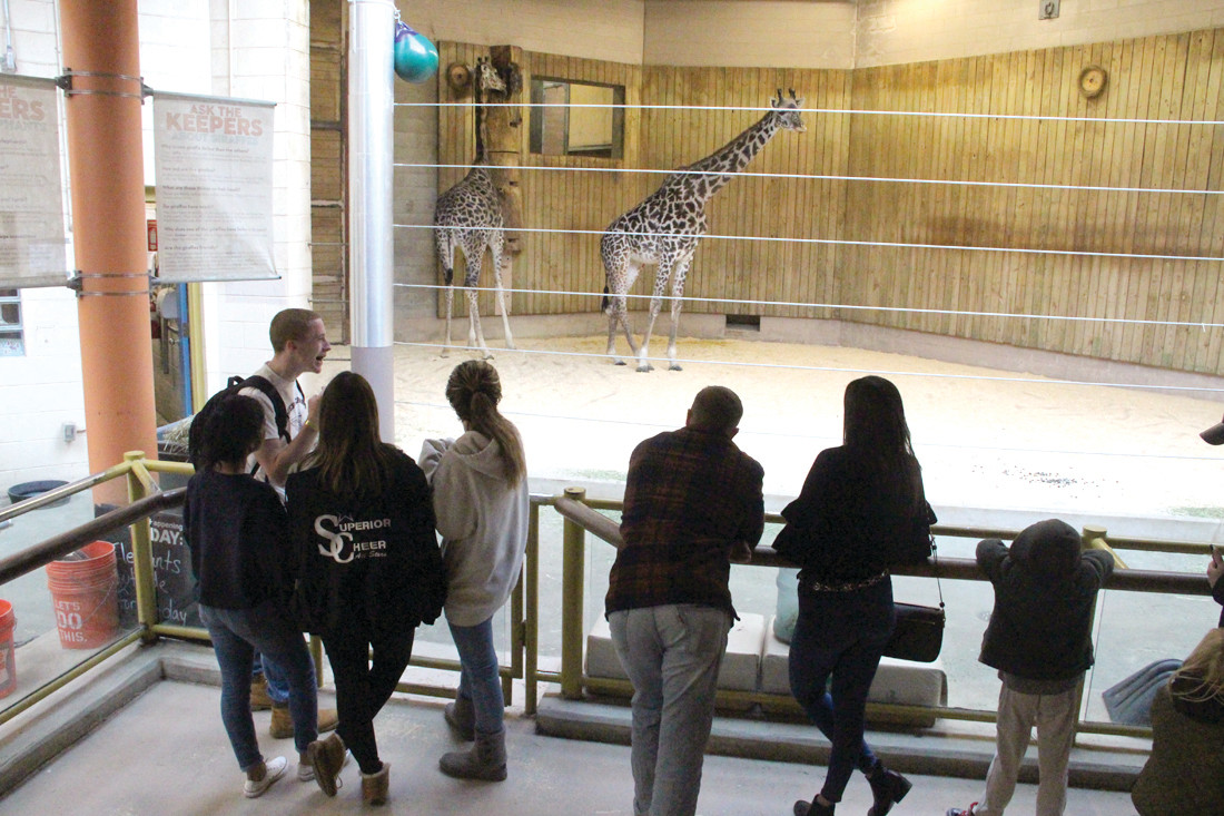 UP CLOSE: As it was too cold for them outside, the giraffes were in an inside display Saturday.