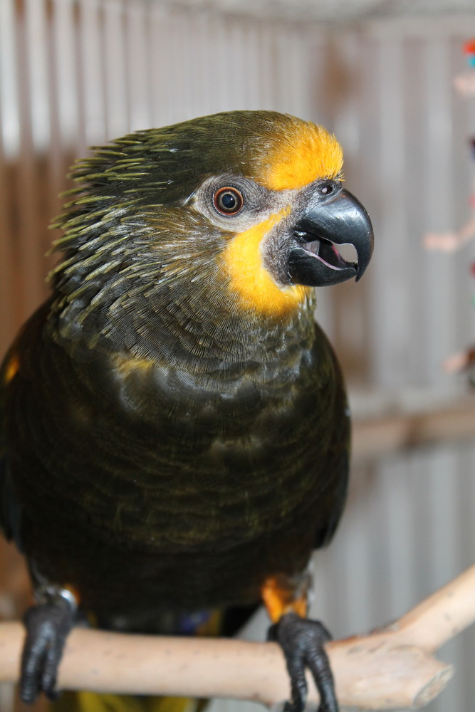 "Zorro is a gorgeous yellow fellow. He's a Lory with a story. He's one of the many awesome birds down at the Rhode Island Parrot Rescue in Warwick. Come say hello today, he'll probably say ""hey"" right back!"