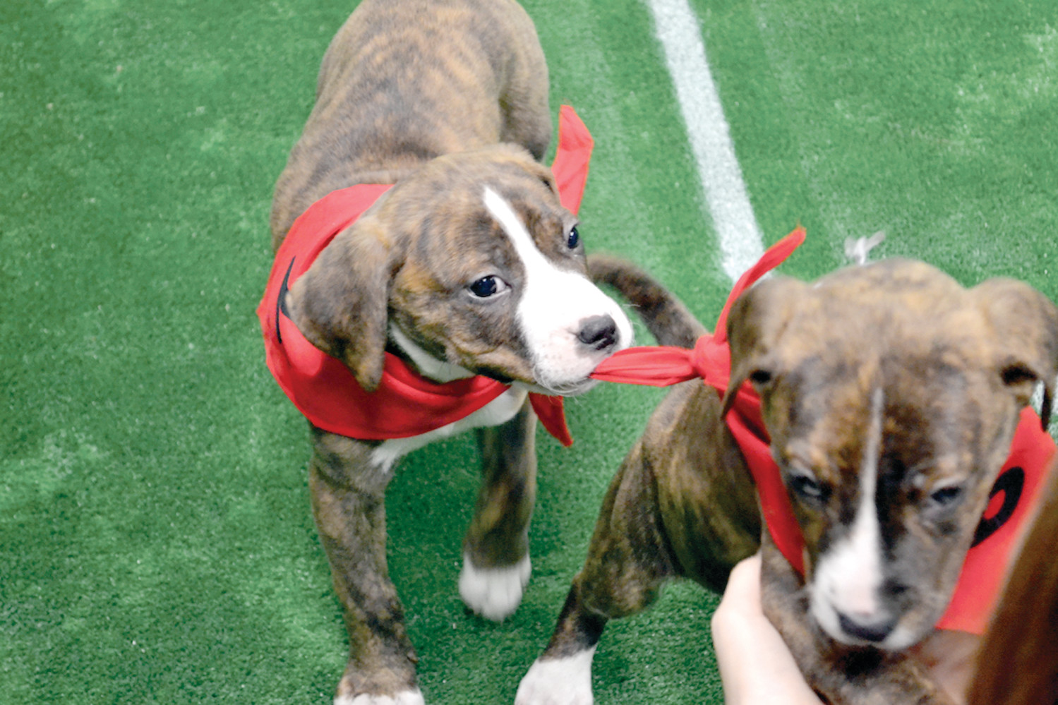 HOLDING: There aren't really any rules in a Puppy Bowl. About a dozen puppies are set loose on a playing field and they run around and play. Who needs rules when the game is that naturally wonderful? The puppy on the right suffered a wardrobe malfunction here.