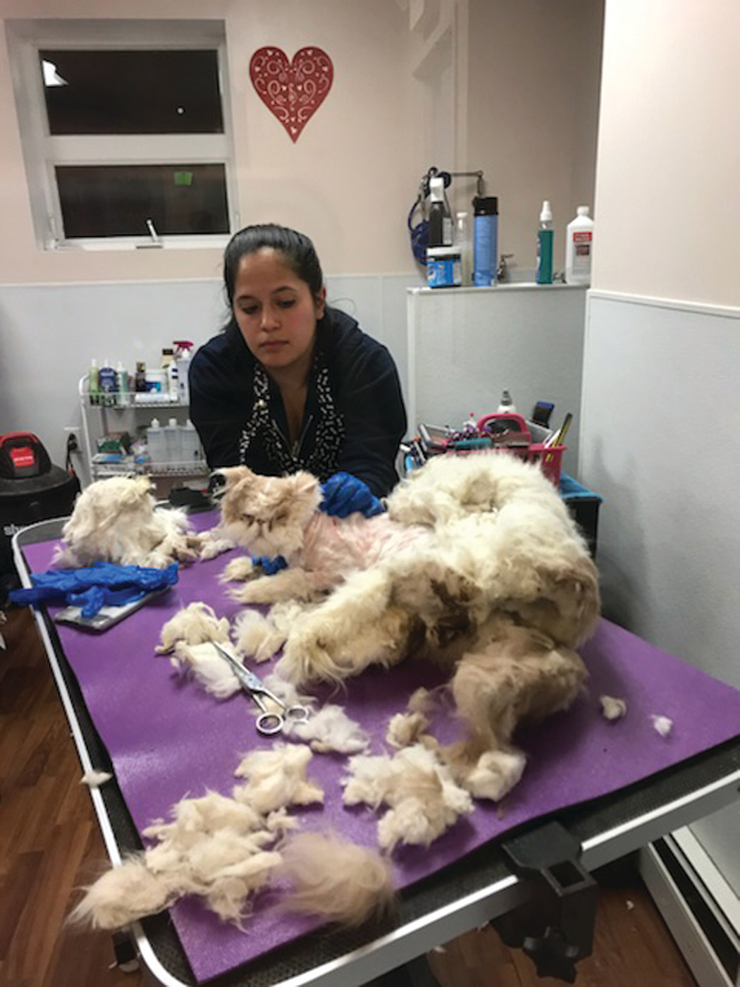 BEFORE: The cat that was saved through a combined effort between a property manager's vigilance, Warwick Animal Control, Warwick Animal Hospital and Purrs And Paws animal groomer while being attended to by Stephanie Fisher of Purrs and Paws.
