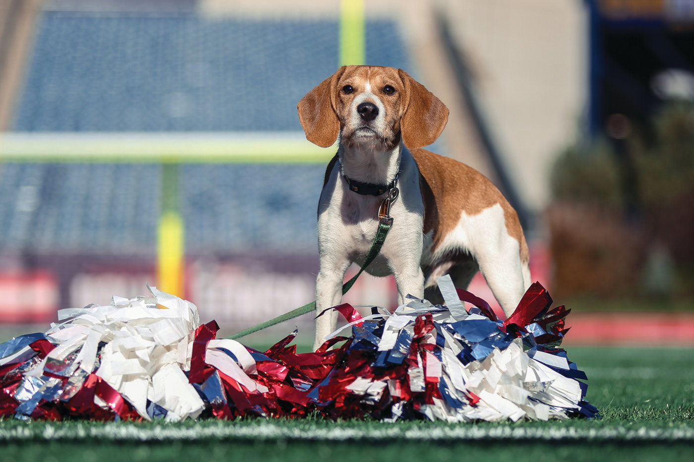 A STAR IS BORN: Goose, a beagle mix with some fierce chihuahua blended in as well, will be taking the field alongside some of the cutest shelter pups in the world for Animal Planet's 14th annual Puppy Bowl, airing at 3 p.m. on Animal Planet.