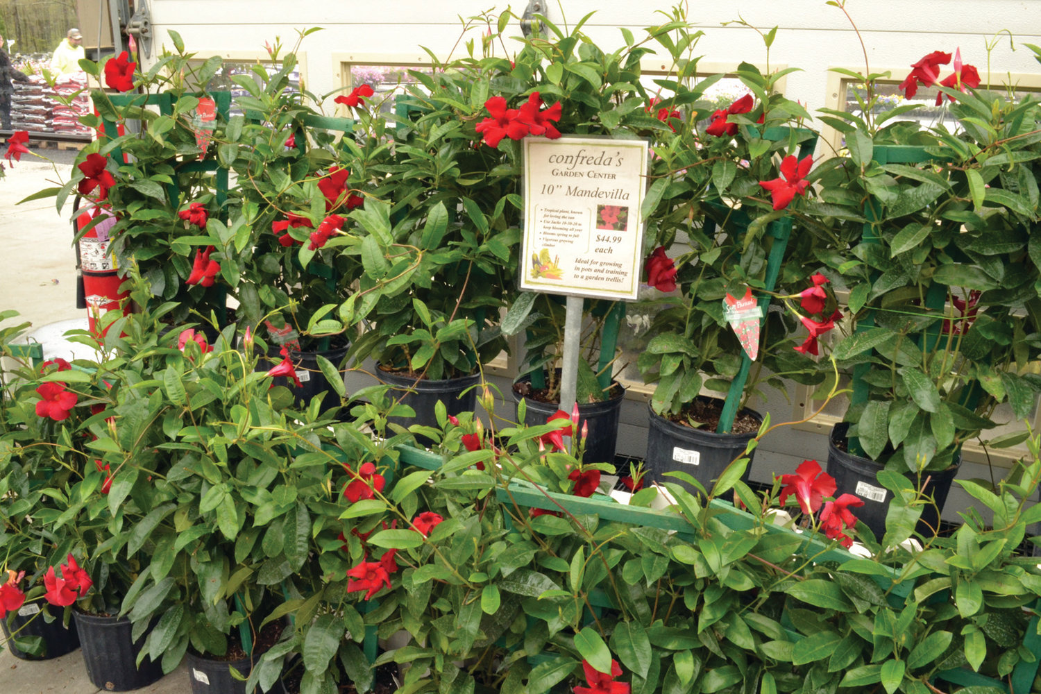 BESTSELLER: Confreda said the mandevilla is one of many popular exotic plants in his greenhouse.