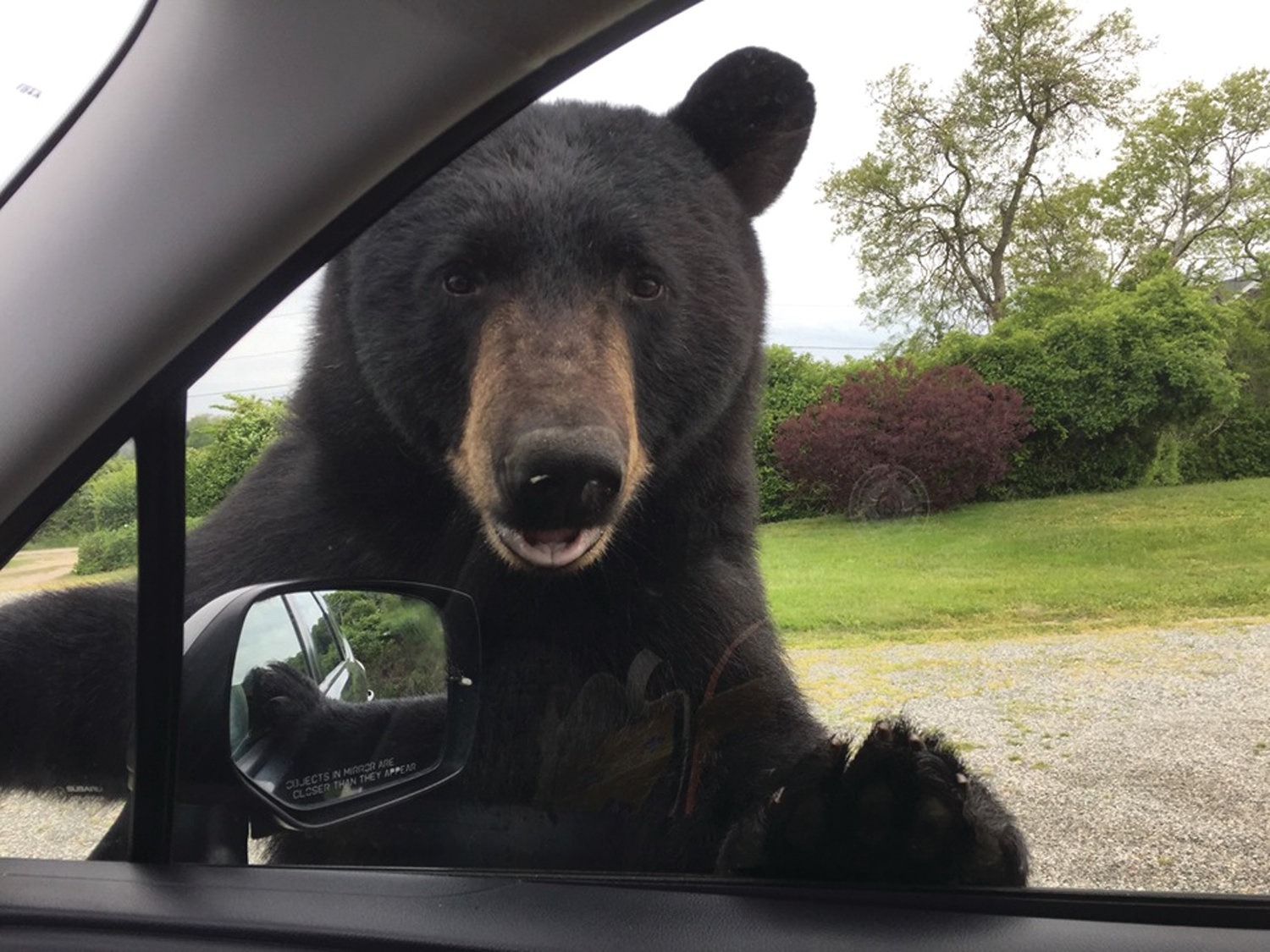TOO CLOSE FOR COMFORT: A black bear peers inside a vehicle near Camp Varnum in Narragansett on May 28.