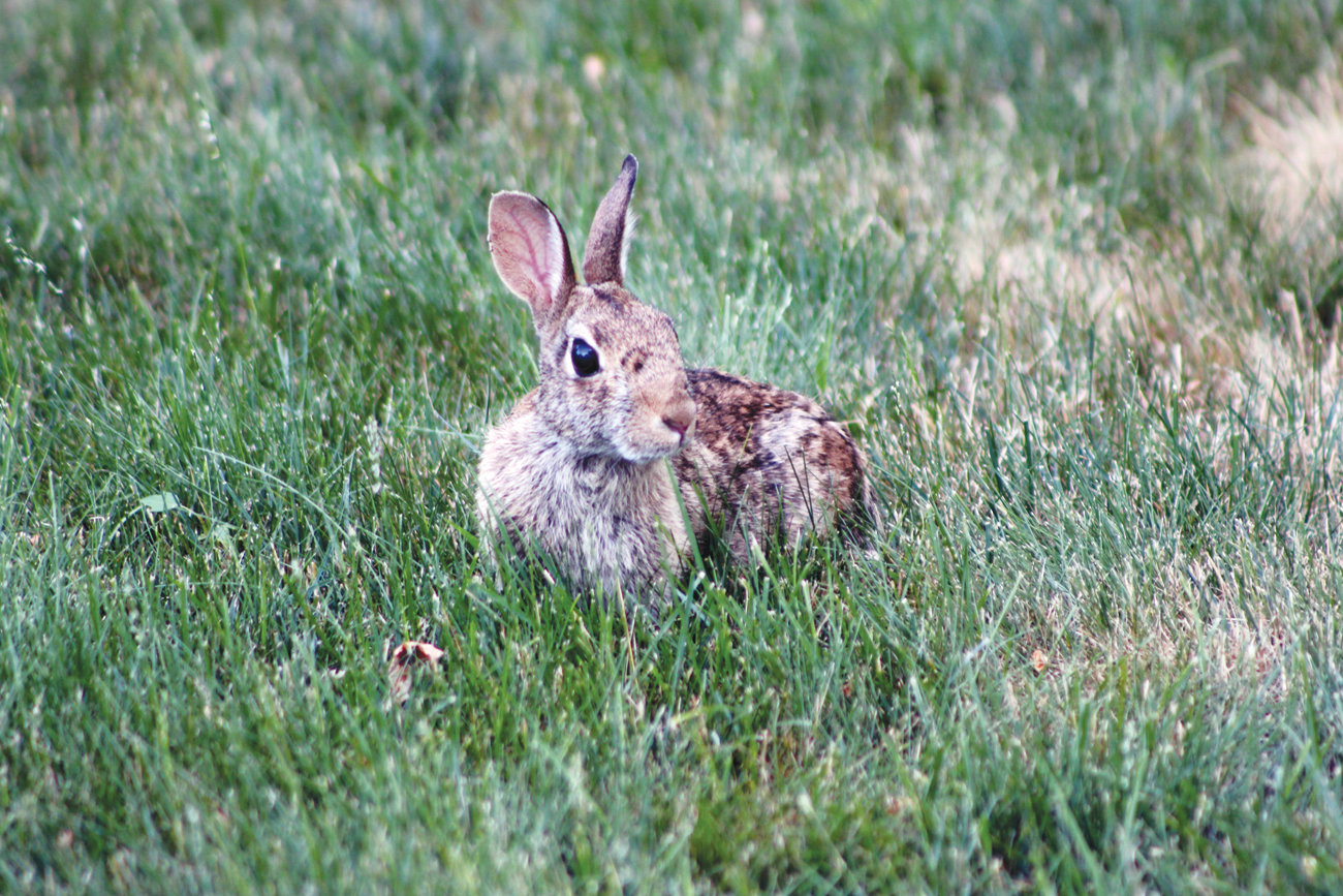 WILEY WABBIT: An Eastern Cottontail takes a break from its grass meal to pose for a photo.
