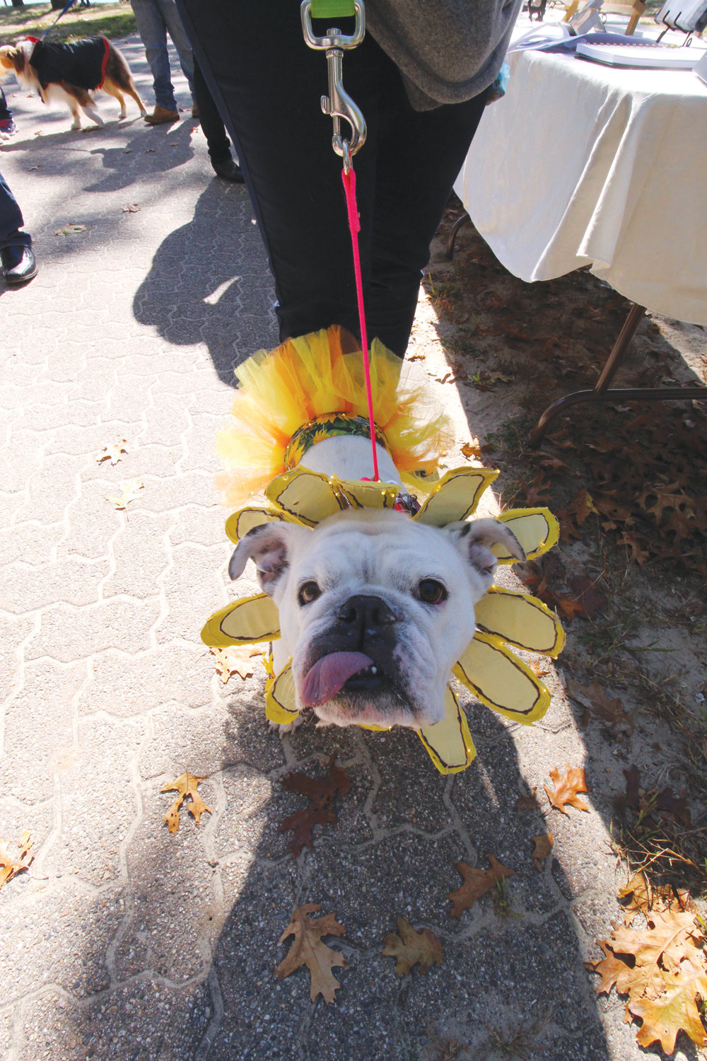 SWEET AS A FLOWER: Who would ever imagine a terrier turned sunflower? Leave it to Tara Achterberg to dress up the family pet, Coco, for the annual dog walk sponsored by the Friends of the Warwick Animal Shelter held Saturday at City Park.