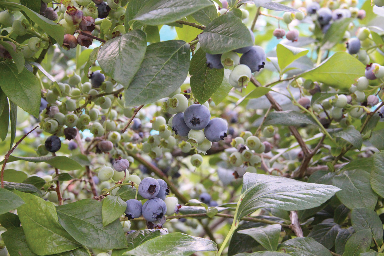 PLENTIFUL: There's a profusion of berries at the farm … easy picking for those of all ages.