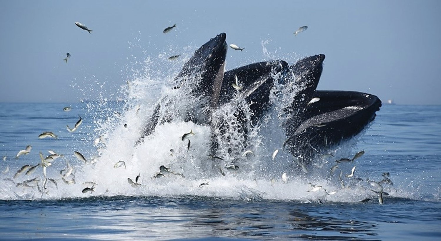 WHALES CRASHING MENHADEN: Climate change impacts are affecting all species, Atlantic menhaden to whales.